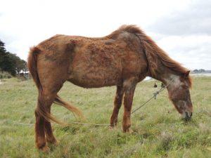 Ein an Cushing erkranktes Pferd. Hier deutlich am Fell erkennbar. (c) Abujoy